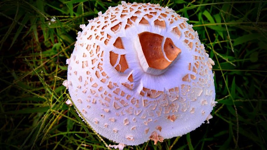 I Found Nemo! by Dee Shahan - Nature Up Close Mushrooms & Fungi ( iowa, fungi, white, nemo, mushrooms )