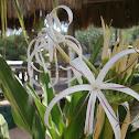 Grand crinum lilly