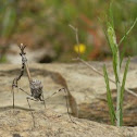 Conehead mantis