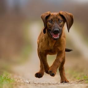 by Zoltán Túri - Animals - Dogs Running