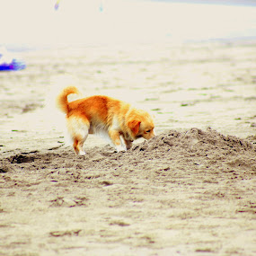 Beach bitch by Leong Jeam Wong - Animals - Dogs Playing ( sand, play, bitch, dig, beach, dog, tail )