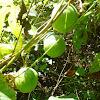 Maypops(Fruit)