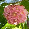 Pink ball tree