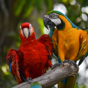 Macaw chatting by Deven Dadbhawala - Animals Birds (  )