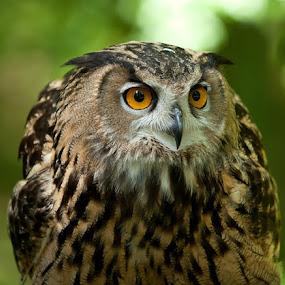 Asian Eagle Owl by George Holt - Animals Birds ( asian eagle owl, owl, asain, bokeh, eyes,  )