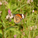 Striped or Common tiger