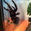 Tarántula(gal,esp), Tarantula(ing)