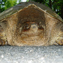 Snapping Turtle - Subspecies; Common
