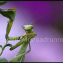 California Praying Mantis