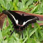 Borboleta Hector (Hectorides Swallowtail)