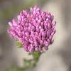 Pink Bristle Bush / Blombos