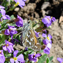 Common Branded Skipper
