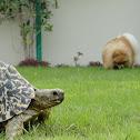 Leopard Tortoise and Pomeranian