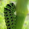 Anise Swallowtail Caterpillar 1st Stage of Pupation