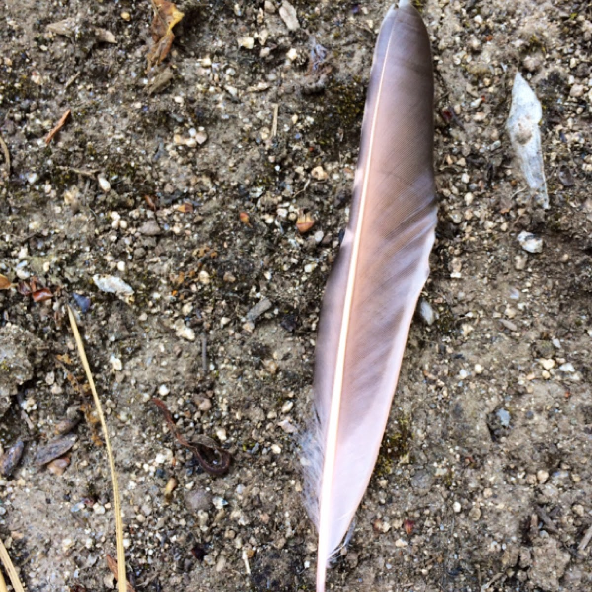 Norther Flicker Feather