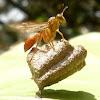 Polistine Wasp
