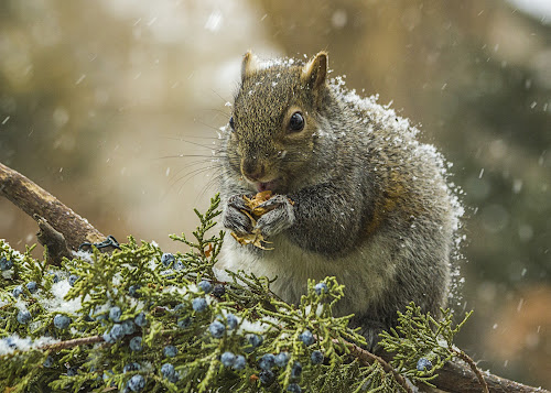 A Treat In The Snow by Sue Matsunaga - Novices Only Wildlife (  )