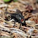 Flesh Fly - Masařka obecná