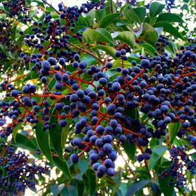 purple berries by Ruy Lopes - Nature Up Close Other plants ( bagas roxas,  )