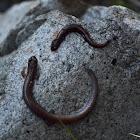 Garden Slender Salamander