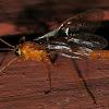 Orange Ichneumonid Wasp?