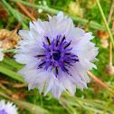 Cornflower (light blue variety)