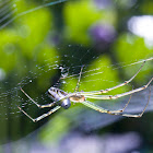 Silver Orb web spider