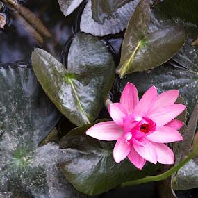 lotus flower by Nithesh Panikkassery - Flowers Single Flower ( lotus flower )