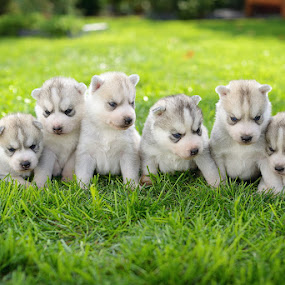 by Paweł Prus - Animals - Dogs Puppies ( almond, breed, canis, dogs, pull, show, landscape, harsh, sled, siberia, six, colour, pose, puppies, family, icee, husky, grey, working, light, coat, sibe, spitz, grass, white, siberian, portrait, sitting, female, 6, color, pet, outdoor, lupus, active, ears, sibirsky, brown, puppy, dense, dog, nose, shaped )