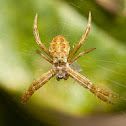 St. Andrew's Cross Spiders