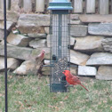 A bunch of Northern Cardinals