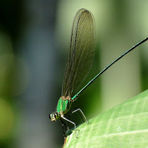 Dragonflies and Damselflies of India