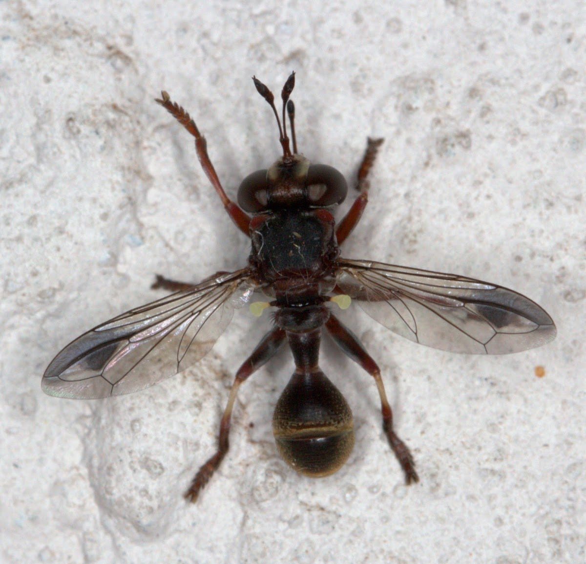 Big-headed Fly