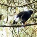 White-rumped Hawk