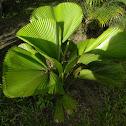 Vanuatu fan palm