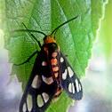 Orange Spotted Tiger Moth