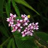Melastomataceae flower