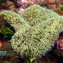 Sun anemone