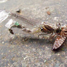 Green Skimmer Dragonfly