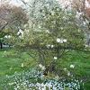 Magnolia stellata (Magnolia estrellada)