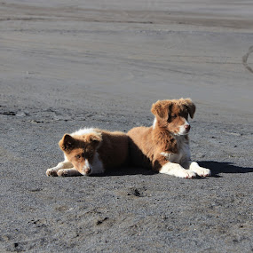 Conjoined Brotherhood by Kias Abdomullah - Animals - Dogs Puppies ( puppies, dogs )