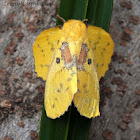 Roseapple Lappet Moth