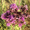 Common Ironweed