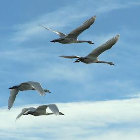 trumpeters in flight by Chris Clay - Animals Birds ( swans, trumpeter swans, birds )