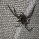 Mexican Wolf Spider
