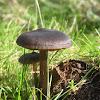 Entoloma Mushrooms