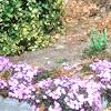Purple Texas Sage