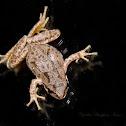 Baja Tree Frog