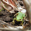 N Pacific Tree Frog