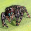 Daring Jumping Spider - He was not bashful!